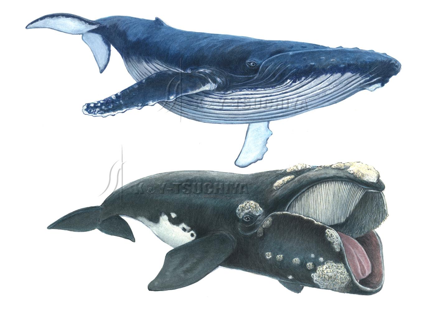 セミクジラの画像 p1_36