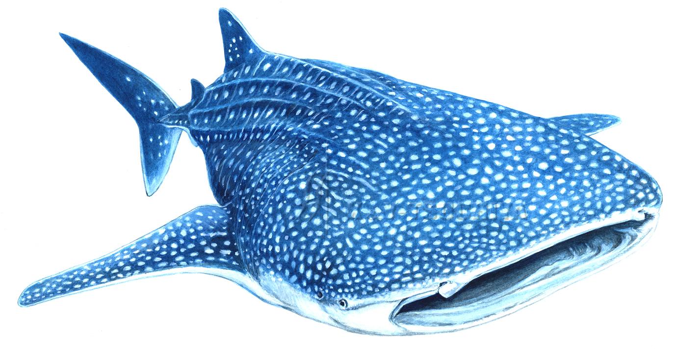 ジンベエザメですイラスト制作工房s S Iso Netブログ